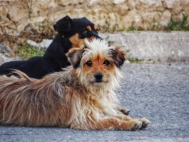 stray dogs by BL00DYSunflowers