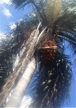 Palm Tree with berries. by Argenx