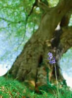 Bluebell and that Tree again by Gerard1972