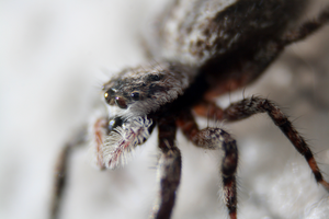 Jumping Spider by ShadeeWolf