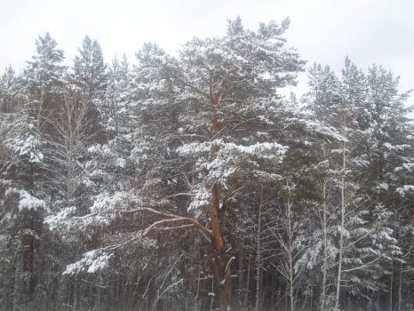 Trees in the snow by Citaar