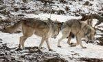 Premium Wolf Stock: 2 by HOTNStock