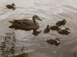 Black duck and ducklings by Twister4evaSTOCK