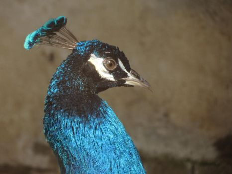 Peacock by hedwards
