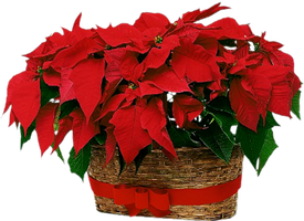 Christmas Flowers by KmyGraphic