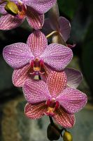 Orchids for April Wine by Nikonoclaste