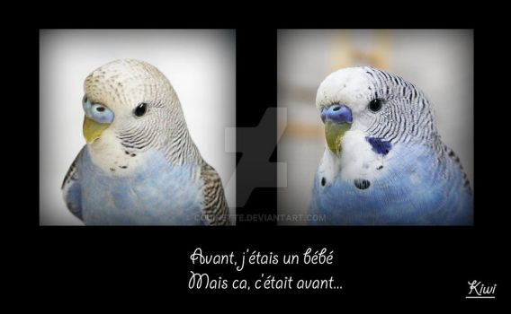 Budgie : Before / After by couinette