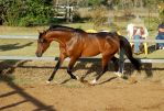 JA Arab Bay Trot side view to the left by Chunga-Stock