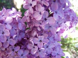 .:stock - lilac2:. by guavon-stock