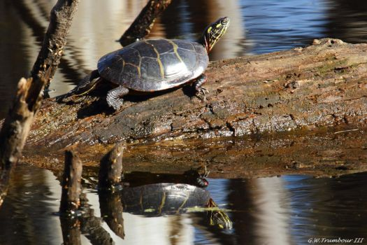 February sun turtle reflection by natureguy
