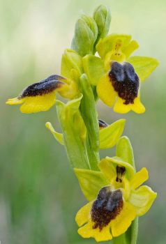 Ophrys lutea by rajaced