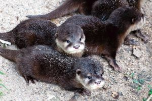 Otter Babies 2 by TadStone