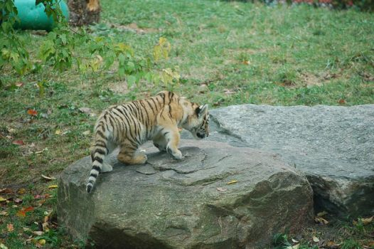 siberian tiger cub 0452 by stocklove