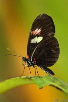 Crimson-patched Longwing Butterfly by AlHabshi