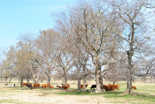 Cows standing under the trees by BuffaloHeadroom