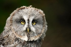 Grey Owl - Face on by Shadow-and-Flame-86