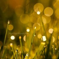 Golden Magic Dew by RHCheng