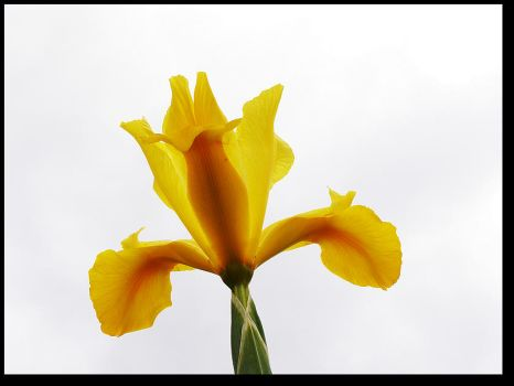 Sky High Iris by TruemarkPhotography