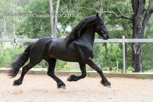 E Friesian black trot side view extended all legs by Chunga-Stock
