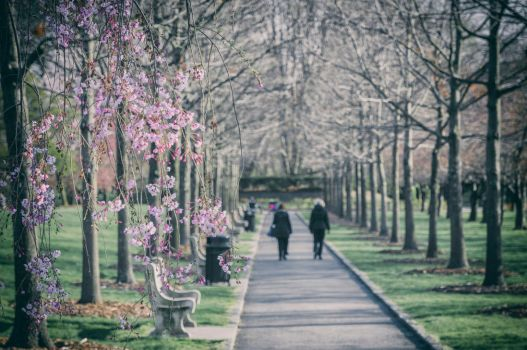 Cherry Blossom and Park by mnjul