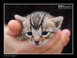 Little Tiger by wazabees