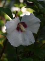Rose of Sharon Stock 06 by botanystock