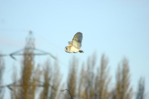 barn owl by devilboy1234