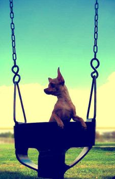 chihuahuas love swings by brittiefacex3