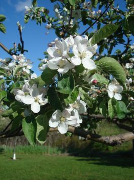 Apple Blossoms I by violetlily13