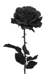 Black Rose PNG by PiXasso79-Stock