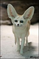 Fennec fox: I am new in the town by woxys