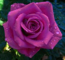 pretty rose by tibbet2000