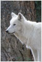White Wolf by Obscuri