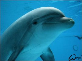 Bottlenose dolphin: happiness by woxys