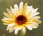 Marigold (Calendula officinalis) by rajaced