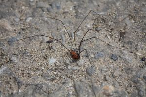Daddy Long Leg Spider Stock by CrossFade1105