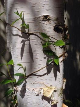 Birch and Vine by mountainliongrl