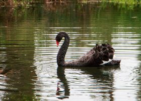 Black Swan by darklordf