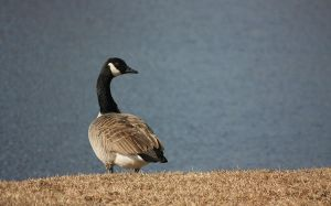 Canadian goose by maxipouce