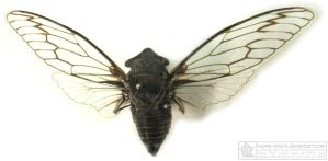 cicada insect by kayne-stock