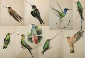 Hummingbirds of Manizales/Colombia by cola93