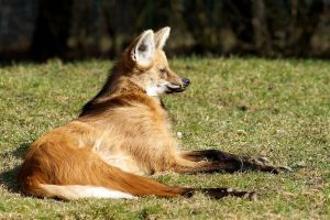 Maned Wolf 01 Stock by lokinststock