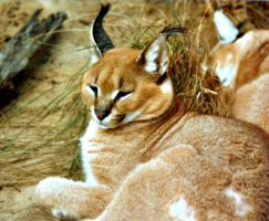 Caracal by bewilderedconfused