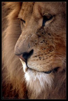 African Lion by Prince-Photography