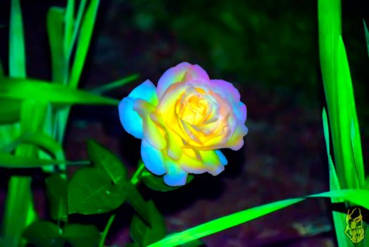 Wild Multicolored Rose by triple7photography