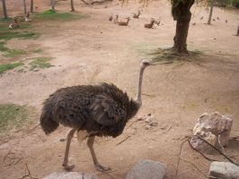 Ostrich by KelbelleStock