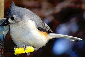 Tufted Titmouse by Xercesa