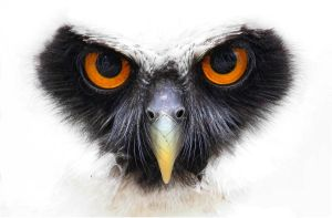 Spectacled owl. by Evey-Eyes